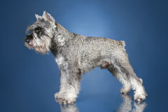 Mittel Schnauzer in stand on a blue background Royalty Free Stock Images