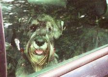 Mittel-Schnauzerhund zugeschlossen in Auto stockfoto