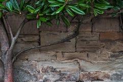 Mittelalterliche Wand des Kalksteins des Steins blockiert Beschaffenheitshintergrund-Oberflächenbaumast mit grünen Blättern Lizenzfreie Stockbilder