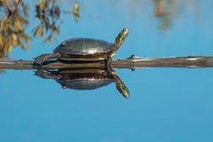 Mittelländische Zierschildkröte Stockfoto