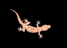 Mittelmeerhaus Gecko stockfoto