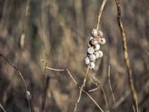 Mittelmeerschnecken in der Ruhezeit Trockenzeit Stockfotos