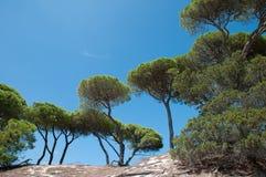 Mittelmeersonnenschirmkiefern Stockbild