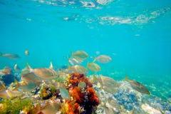 Mittelmeerunderwater mit salema Fischschule Stockfotos
