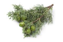 Mittelmeerzypresse-Kegel und Laub stockfoto