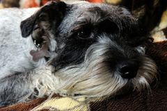 Mittelschnauzer bearded and wistful royalty free stock images