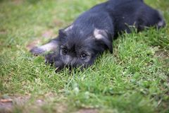 Mittelschnauzer puppy on green grass Stock Photo