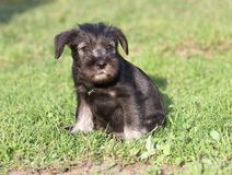 Mittelschnauzer puppy on green grass Stock Image