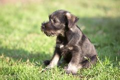 Mittelschnauzer puppy on green grass Royalty Free Stock Photo
