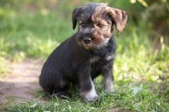 Mittelschnauzer puppy on green grass Stock Images