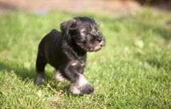Mittelschnauzer puppy on green grass Royalty Free Stock Images