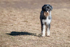 Mittelschnauzer Royalty Free Stock Photography