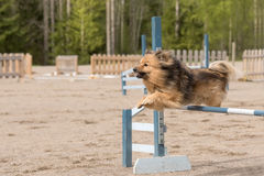 Mittelspitz jumps over an agility hurdle Royalty Free Stock Image