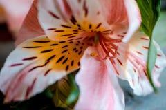 Mitten av blomman och den rosa alstroemeriaen för Stamens blommar med prickig kronbladmakro Royaltyfri Fotografi