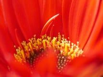 Mitten av den röda gerberblomman Royaltyfri Fotografi