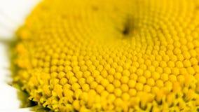 Mitten av en tusenskönablomma är en matris av gula stamens Makrofotografi som en distinkt vegetativ naturlig bakgrund på Arkivfoto