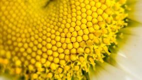 Mitten av en tusenskönablomma är en matris av gula stamens Makrofotografi som ett distinkt vegetativt naturligt arkivfoton