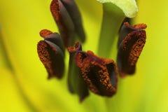 Mitten av liljan Royaltyfria Foton