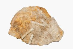 Mittlere Jura-Haarstern Callovian Apiocrinites Pluricolumnal-Fossilien von Oklahoma USA eingebettet im flachen Stück Schlammstein stockfoto