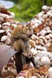 Mittlerer Affe und Kokosnuss Stockfotografie