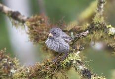 Mittlerer Grundfink in einem Baum Stockfotografie
