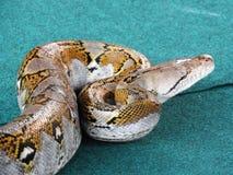 Mittlerer Plan der verschiedenen Schlangen auf einem blauen Hintergrund im Prozess-drisserovki stockbilder