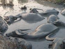 Mittlerer Schuss einer Gruppe Wasser-Büffel, die in einem Schlamm-Loch sich wälzen Stockfotos