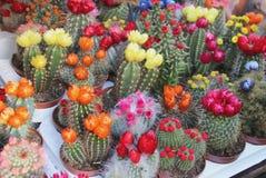 Mix of beautiful cactuses. Big mix of beautiful vivid bloomy cactuses Stock Photos