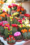 Mix of beautiful cactuses. Big mix of beautiful vivid bloomy cactuses royalty free stock photography