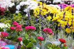 Mix of begonias. Begonia flowers in pots royalty free stock image