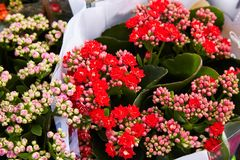 Mix of begonias. Begonia flowers in pots stock images