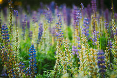 Mix Of Blooming And Overblown With Seed Pods Wild Flowers Lupine. Mix Of Blooming And Overblown Wild Flowers Lupine With Seed Pods In Summer Meadow Field In Royalty Free Stock Photo