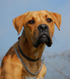 Mix boxer. Beautiful mix boxer in a blue sky: dangerous watching dog royalty free stock photography