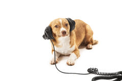 Mix bred dog with headphone Royalty Free Stock Photography
