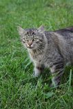 Domestic mix breed cat at grass. Mix breed cat standing at green grass and looking to camera, selective focus stock photos