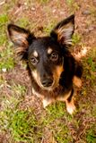 Mix breed collie Royalty Free Stock Photos