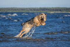 Mix breed dog jumping out of water. Stock Images