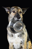 Mix breed hungry dog and the bowl, isolated on black Stock Images