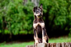 Mix breed puppy. Sitting on a log in the forest Royalty Free Stock Photography
