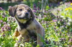 Mix breed puppy scratching itself. Mix breed puppy among the grass leaves and colorful field flowers Royalty Free Stock Images