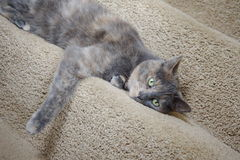 Mix British Blue pedigree cat. House cat relaxing on the stairs Stock Photography