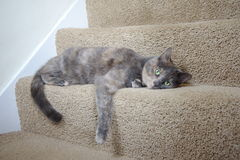 Mix British Blue pedigree cat. House cat relaxing on the stairs Royalty Free Stock Photo