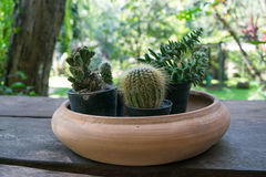 Mix cactus in a pot on wooden table Royalty Free Stock Photo