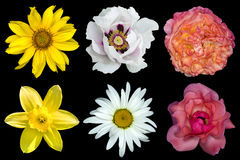 Mix collage of flowers: white peony, red and rose roses, yellow decorative sunflower, white daisy flower, day lilies isolated on b Stock Image