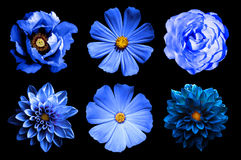 Mix collage of natural and surreal blue flowers 6 in 1: dahlias, primulas, rose and peony isolated Royalty Free Stock Photo