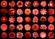 Mix collage of natural and surreal red flowers 35 in 1. Peony, dahlia, primula, aster, daisy, rose, cornflower, flax, pelargonium, marigold, tulip isolated on Royalty Free Stock Photos