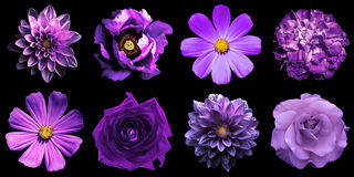 Mix collage of natural and surreal violet flowers 8 in 1: peony, dahlias, roses, perennial aster and primulas isolated. On black Stock Photo
