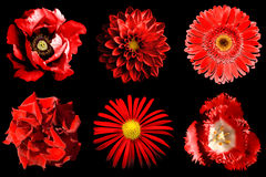Mix collage of red flowers 6 in 1 isolated Stock Photography