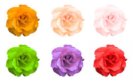 Mix collage of rose flowers: acid rose, violet, acid green, rose, orange, green isolated. On white Stock Photos