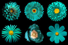 Mix collage of turquoise flowers 6 in 1 isolated Stock Images